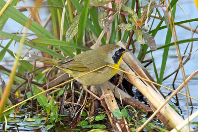CommonYellowThroat(M)-LAWD-FL-1-5-18-SJS-001