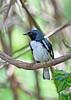 Black-throatedBlueWarbler-MM-5-17-17-SJS-004