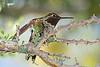 AnnasHummingbird-AZ-2015-004