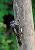 DownyWoodpecker-Male-IHSA-7-4-17-SJS-001