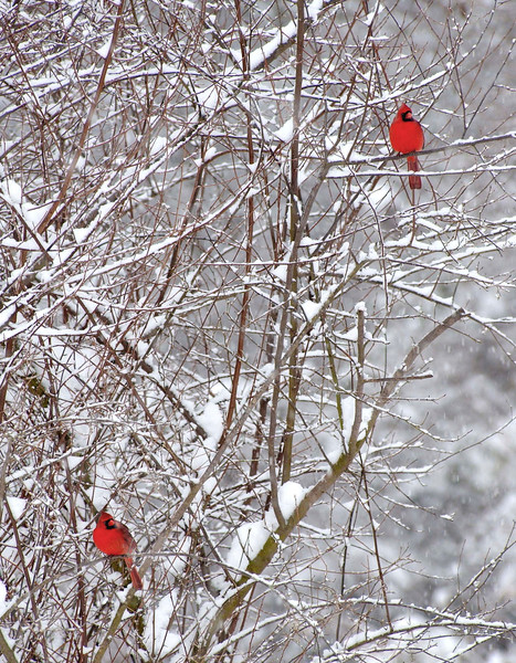 2-cardinals-in-snow