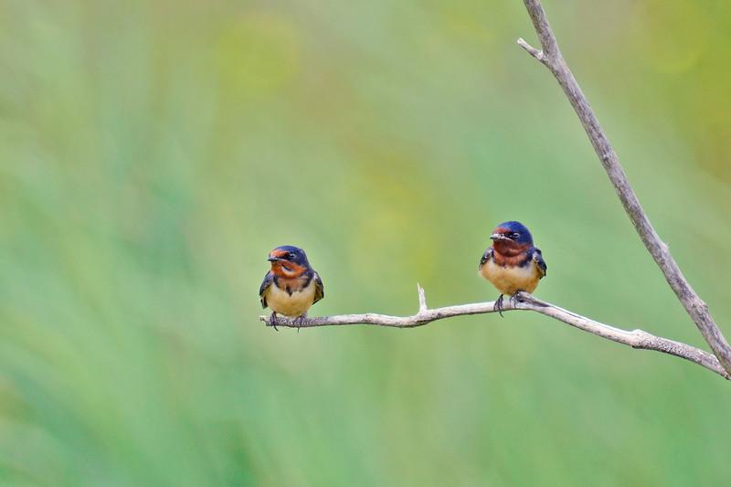 BarnSwallow-LAWD-4-15-17-SJS-004