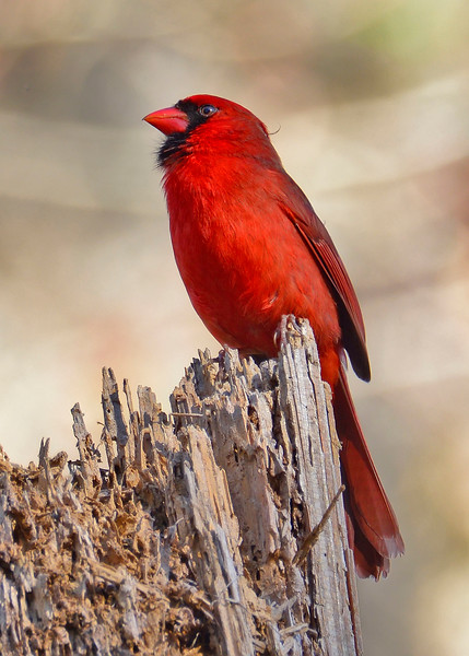 CardinalMale-LakeYaleEstatesFl-1-14-17-SJS-018