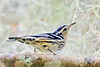 Black&WhiteWarbler-OaklandNaturePreserve-FL-2-28-17-SJS-002