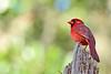 CardinalMale-LakeYaleEstatesFl-1-14-17-SJS-011