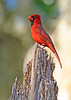 CardinalMale-LakeYaleEstatesFl-1-14-17-SJS-004