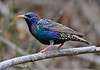 EuropeanStarling-2016-sjs-002