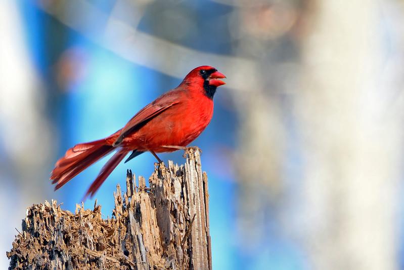 CardinalMale-LakeYaleEstatesFl-1-14-17-SJS-020