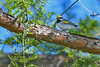 Golden-wingedWarbler-MM-5-15-17-SJS-008