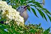 GrayCatbird-LAWD-ClayIsland-SJS-03