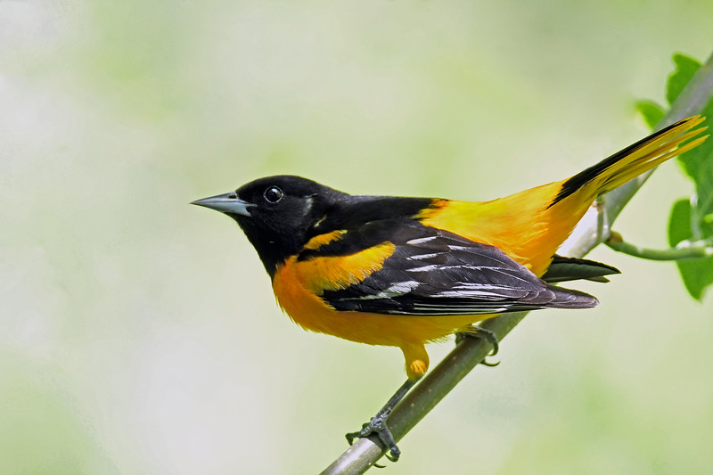 BaltimoreOriole-MM-5-15-17-SJS-008
