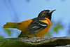 BaltimoreOriole-MM-5-15-17-SJS-006