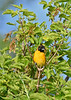 BaltimoreOriole-MM-5-18-17-SJS-001