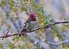 AnnasHummingbird-AZ-2015-011