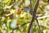 Great-CrestedFlycatcher-KissimmeePrairieFl-3-21-17-SJS-005
