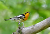 BlackburnianWarbler-MM-5-17-17-SJS-001