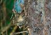 HouseFinch(female)506-4