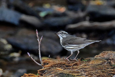 LouisianaWaterthrush-WCP-DunbarWV-SJS-006