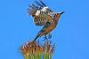 GilaWoodpecker-AZ-2015-008