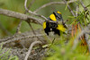 AudubonWarblerWestYellowstoneMT-2016-sjs-004