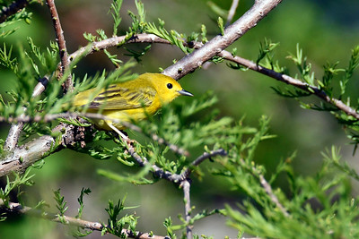 YellowWarbler-MM-5-15-17-SJS-006