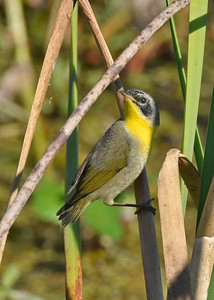 CommonYellowThroat-LAWD-12-31-18-SJS-006