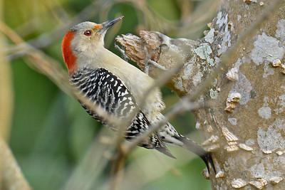 RedBelliedWoodpecker-LAWD-2-3-18-SJS-015