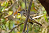 Great-CrestedFlycatcher-KissimmeePrairieFl-3-21-17-SJS-007
