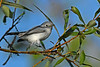 Blue-grayGnatcatcher-CircleB-Bar-FL-11-7-17-SJS-002