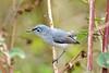 Blue-GrayGnatcatcher-LAWD-2-24-17-SJS-002