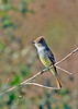 Ash-throatedFlycatcher-LAWD-1-6-17-SJS-007