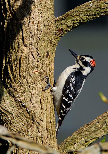 HairyWoodpecker(male)-01