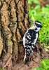 HairyWoodpecker-Female-2014-sjs-004