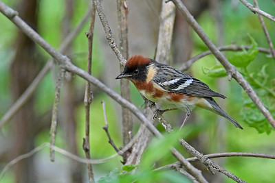 Bay-breastedWarbler-MM-5-17-17-SJS-006