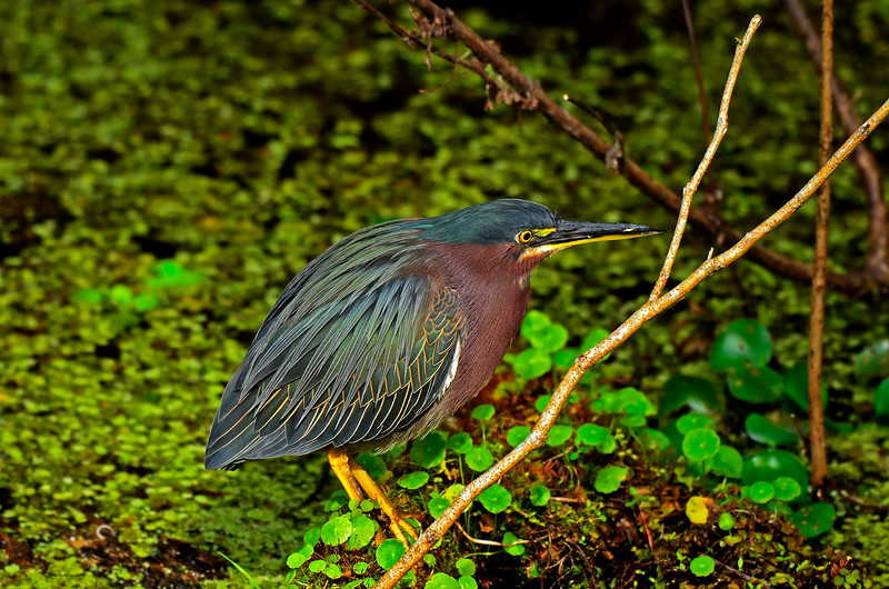 GreenHeron-2015-sjs-04