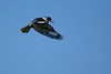 Kingfisher-Male-VeiroWetlands-11-16-SJS-004