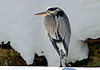 GreatBlueHeron-Snow-14