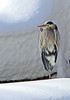 GreatBlueHeron-Snow-03