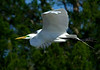 GreatEgret-21