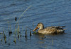 NorthernShoveler(female)-001