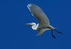 GreatEgret-29