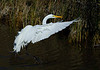 GreatEgret-25