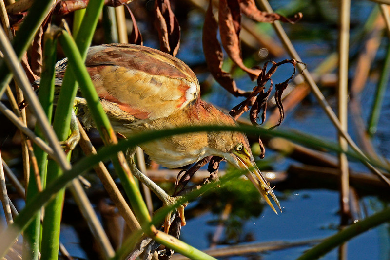 Least Bittern - Viera Wetlands - Melbourne, Florida