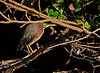 GreenHeron-2015-sjs-01