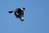 Kingfisher-Male-VeiroWetlands-11-16-SJS-006