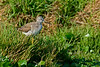 GreaterYellowLegs-12-31-16-SJS-001