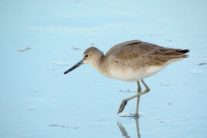 Willet-NaplesFL-1-28-17-SJS-05
