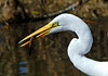GreatEgret-42