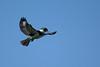 Kingfisher-Male-VeiroWetlands-11-16-SJS-002
