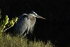 GreatBlueHeron-013
